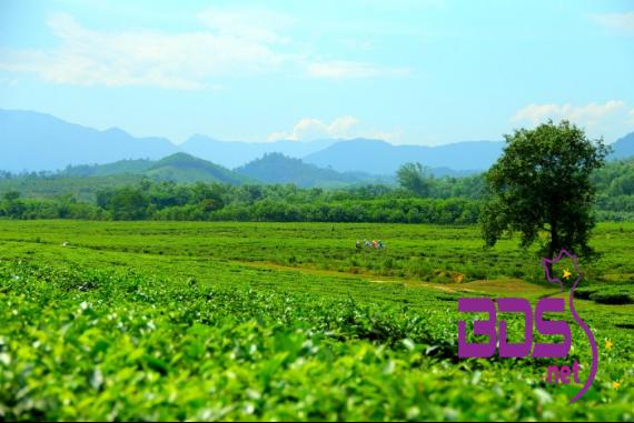 Đồi chè Đồng Giang - Thảo nguyên chè xanh ngát bừng sức sống giữa đất trời Quảng Nam