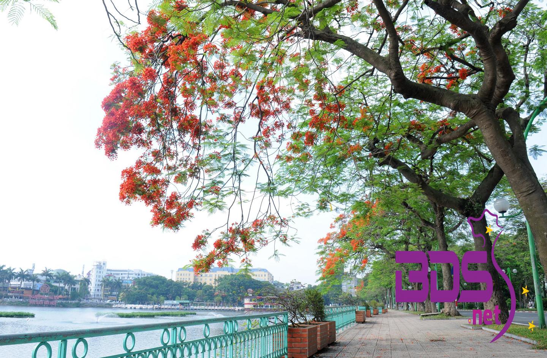 Góc đường Hồ Tây mùa phượng